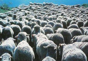 troupeau-moutons
